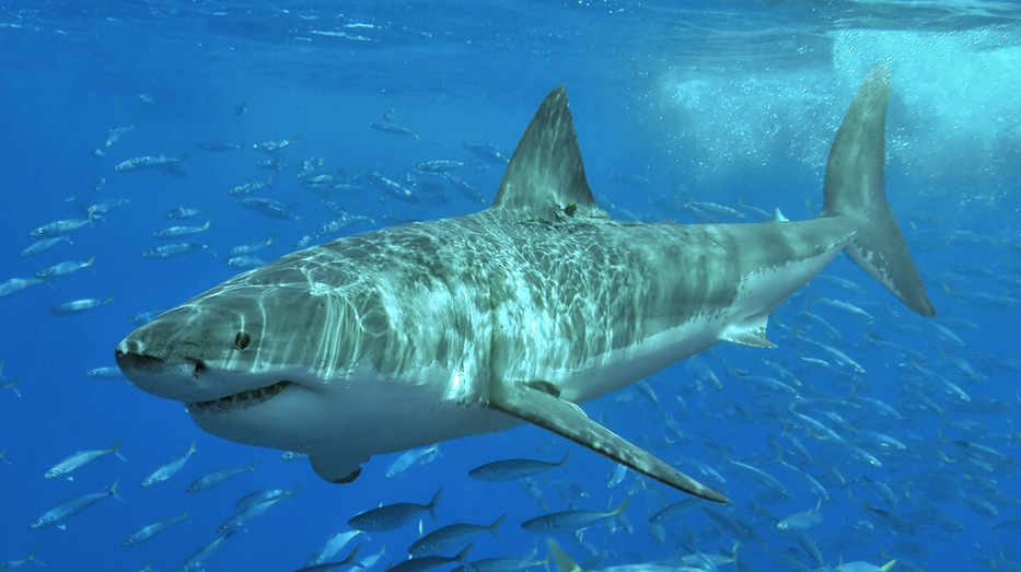 Scientists Say, Shark Eaten By Mystery Sea Monster